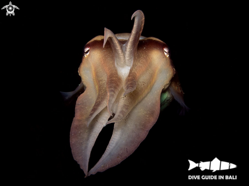 A Sepia latimanus