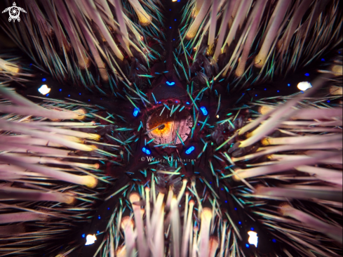 A Astropyga sp. | Sea Urchin