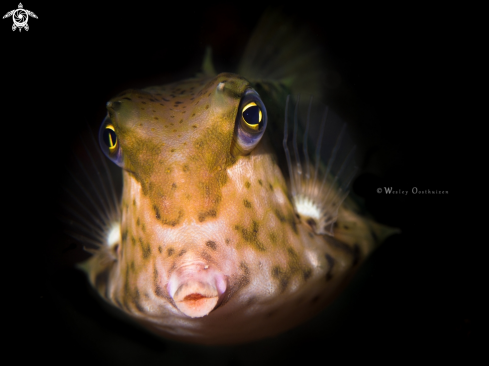 A Lactoria diaphana | Roundbelly cowfish