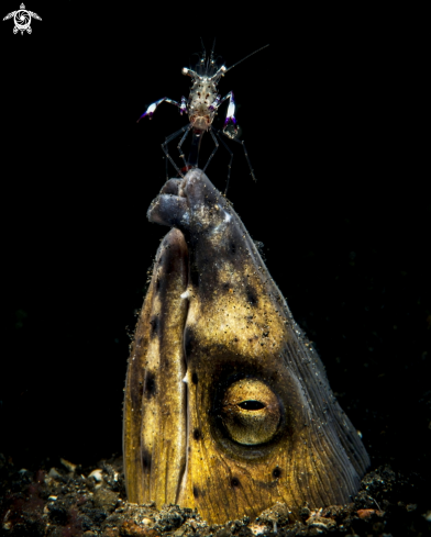 A Snake eel ,Periclimenes magnificus