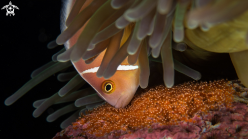 A Clown Fish with Eggs