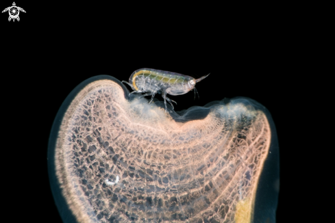 A Bug on Tunicate