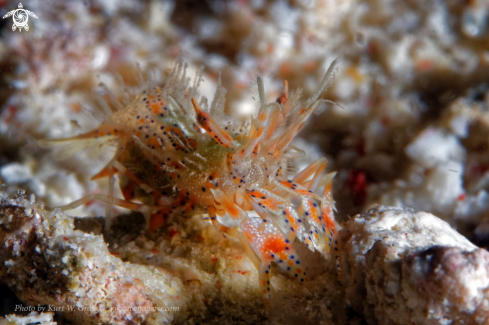 A Tiger shrimp
