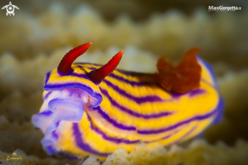 A nudibranch | nudibranch - Hypselodoris maridadilus