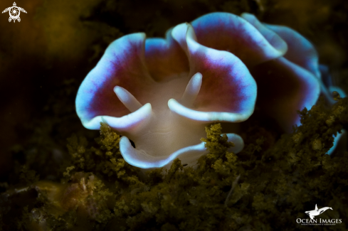 A Frilled Nudibranch