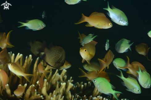 A Damselfish and Anthias