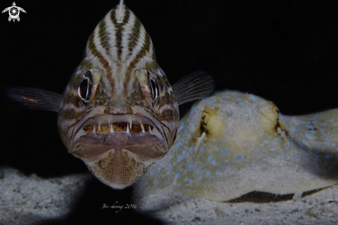 A Tiger cardinalfish v stingray