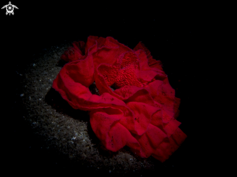 A Spanish dancer eggs