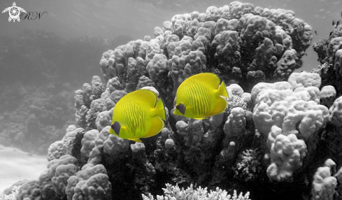 A masked butterflyfish