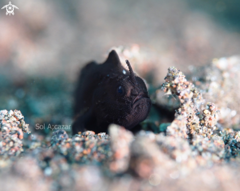 A Black juvenile frogfish
