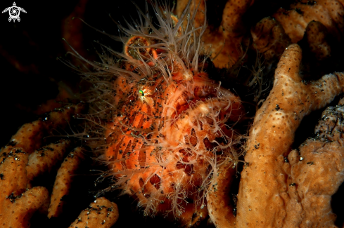A Hairy frog fish