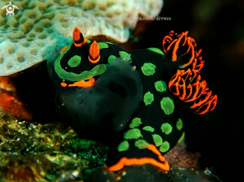 A Broccoli nudibranch