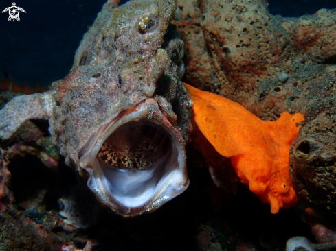 A Antennarius species | Frogfish