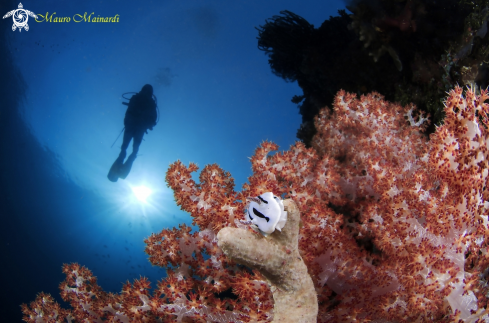 Nudi, diver and softcoral