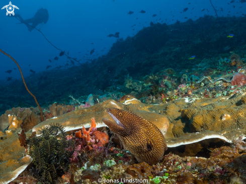 A White mouth moray eel