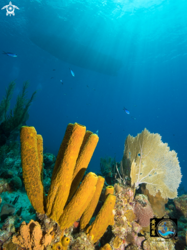 A Yellow tube sponge