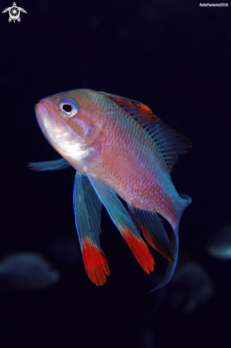 A  Anthias anthias | Tres colas