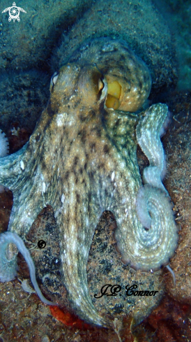 A Octopus vulgaris | Poulpe