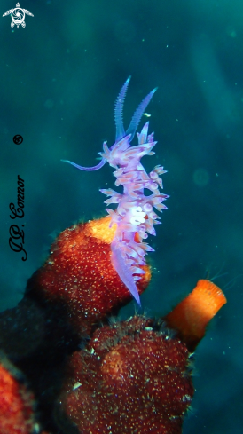 A Flabellina affinis | FLABELLINE MAUVE