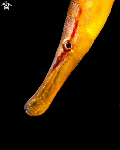 A Snake pipefish