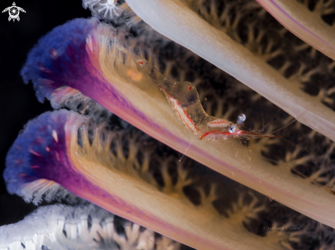 A Commensal shrimp,Gamberetto commensale