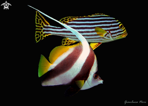 A Heniocus acuminatus and Plectorinchus vittatus | Angel fish and oriental sweelips