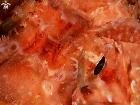 A Red scorpion fish,Scorfano rosso