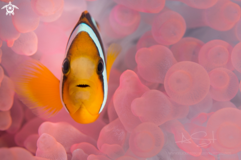 A Clarks Anemone Fish
