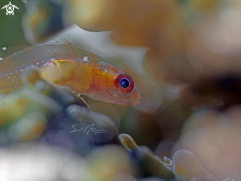 A Bryanopsis Natans | pink eyed goby
