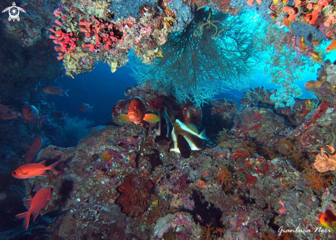 A Grouper, bannerfish, soldierfish