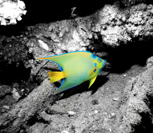 A Queen Angelfish