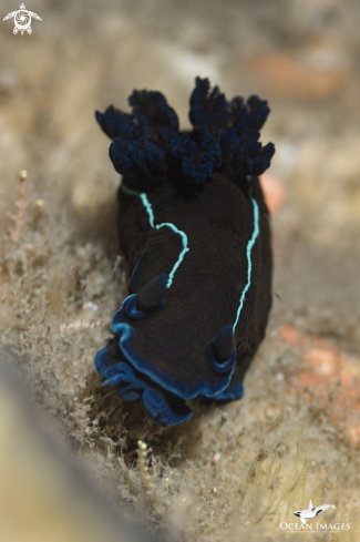 A Black Nudibranch