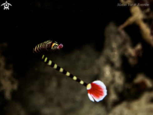 A Pipefish
