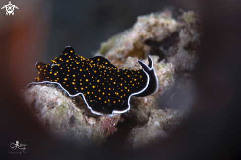 A yellow-spotted flatworm