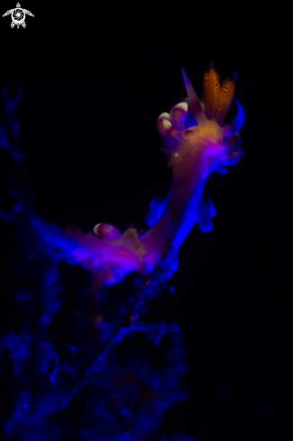 A Nudibanch