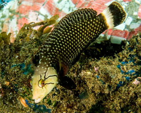 A Rockmover Wrasse