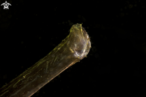 A Greater pipefish