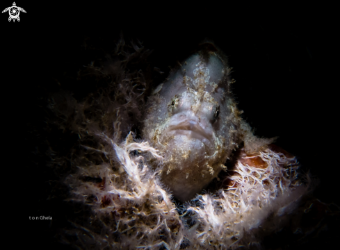 A Juvinile  Frogfish