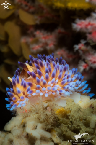 A Gasflame nudibranch