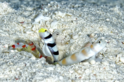 A Yellow-snout Shrimp Gobi
