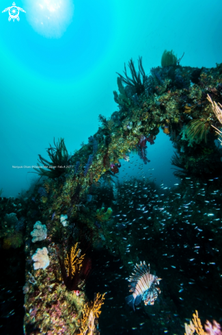A lionfish and softcoral
