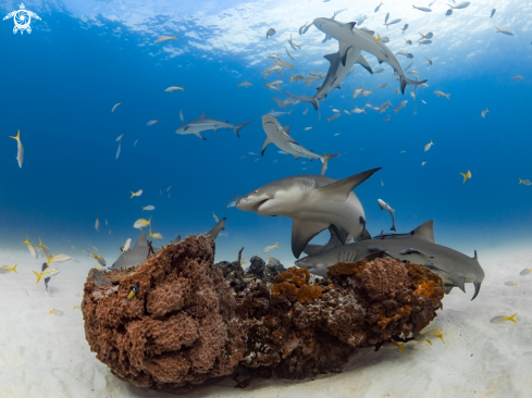 A Lemon Sharks and Caribbean Reef Sharks