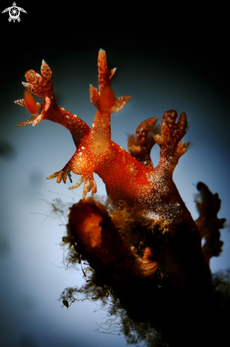 A Bornella sp. Nudibranch