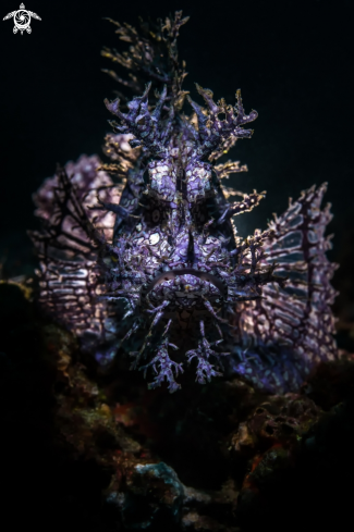 A Weedy Scorpion Fish