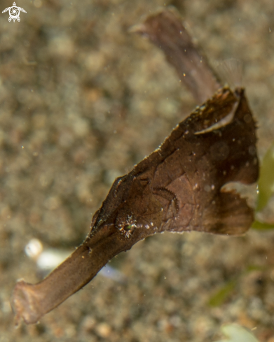 A Roust ghost pipefish
