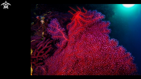 A Crinoide on Red Gorgon