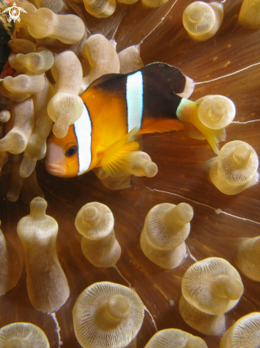 A Amphiprion percula | Clownfish