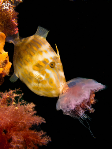 A Leatherjacket and Sea Jelly