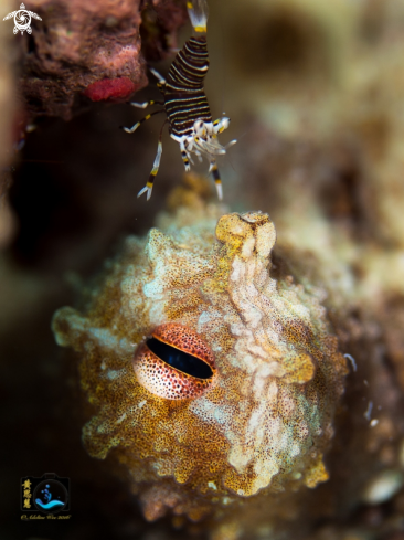 A Caribbean reef octopus & striped bumblebee shrimp