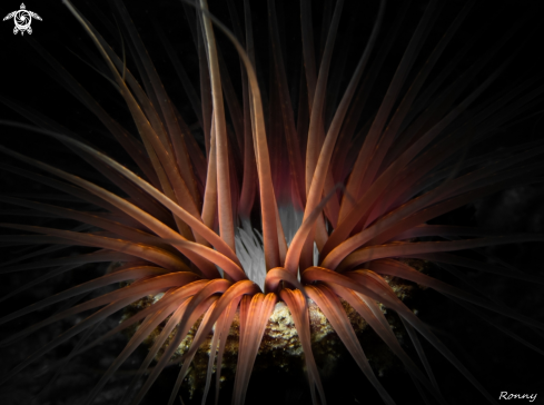 A Tube anemone